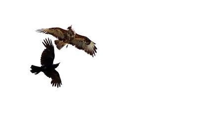 Buzzard & Crow