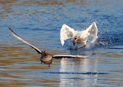 Mute Swan chasing a Greylag Goose