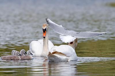 Black Headed Gull attacking mute swans