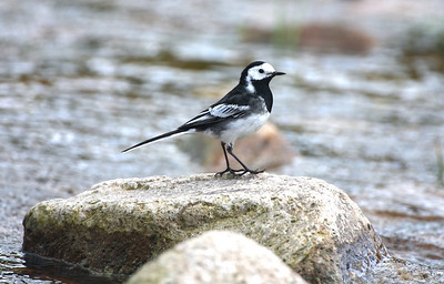 pied wagtail standing on rocks by the riverside