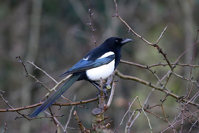 close up of a magpie