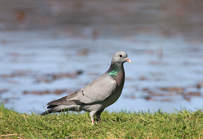 stock dove standing on grass