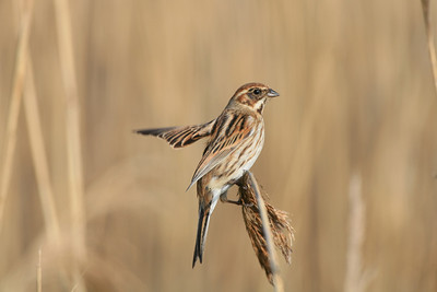 female reed bunting balancing on a reed head