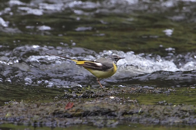 grey wagtail standing next to a flowing river