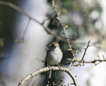 female blackcap perched in a tree