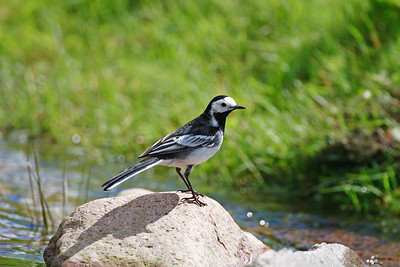pied wagtail enjoying the sunshine