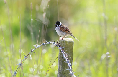 male reed bunting perched on a fence post