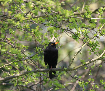male blackbird perched in a bush