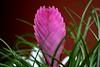 <b>Pink Quill</b> <i>(Tillandsia cyanea)</i>  (August 23, 2008)
