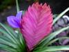 <b>Pink Quill</b> <i>(Tillandsia cyanea)</i>  (December 31, 2005)