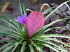 <b>Pink Quill</b> <i>(Tillandsia cyanea)</i>  (December 31, 2005)  One little plant when I first bought this in 2005.  Then, three years later (five photos to the right), this beauty gave me two flowers and almost four years later (10 photos to the right) . . . this beauty multiplied and gave me five flowers :)
