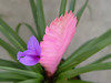 <b>Pink Quill</b> <i>(Tillandsia cyanea)</i> [sy-a'nee-a]  (December 31, 2005)  Pink Quill is one of 374 species of the genus Tillandsia. It is an epiphyte (which means they grow on trees, without taking goodness from their host) from Ecuador.  It is a Bromeliad, which are members of a plant family known as Bromeliaceae (bro-meh-lee-AH-say-eye).   The family contains over 3000 described species in approximately 56 genera. The most well known bromeliad is the pineapple. The family contains a wide range of plants including some very un-pineapple like members such as Spanish Moss (which is neither Spanish nor a moss). Other members resemble aloes or yuccas while still others look like green, leafy grasses.