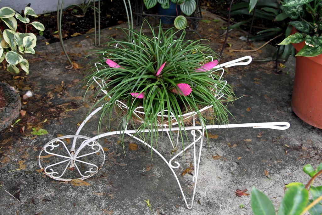 <b>Pink Quill</b> <i>(Tillandsia cyanea)</i>  (September 7, 2009)