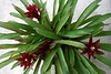 <b>Guzmania 'Ultra'</b> (Bromeliad)  (February 25, 2007)