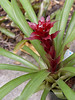 <b>Guzmania 'Ultra'</b> (Bromeliad)  (December 31, 2005)