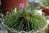 <b>Pink Quill</b> <i>(Tillandsia cyanea)</i>  (August 10, 2008)  Isn't nature just beautiful?  In less than four months from the previous photo, I have two gorgeous flowers :)