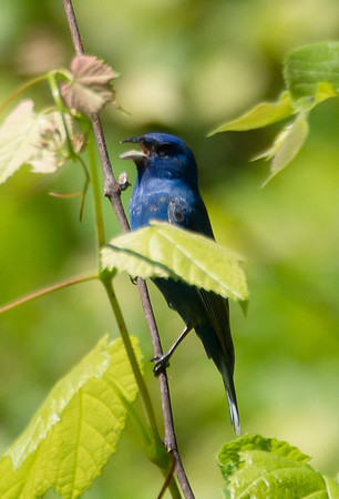 Brooklyn Botanic Gardens Birding Group Spring 2014