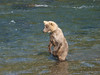 A younger bear stands up for a better view.  Taken near Brooks Camp and Lodge in the Katmai National Park.