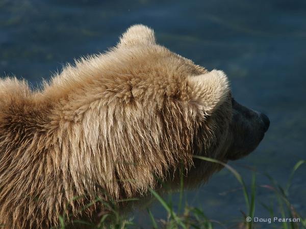 A bear {Alaskan Brown bear (scientific name: ursus arctos)} walks along the river.  Taken near Brooks Camp and Lodge in the Katmai National Park.