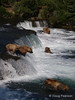 A few bears {Alaskan Brown bear (scientific name: ursus arctos)} fishing for Salmon at Brooks Falls in the Katmai National Park, Alaska.