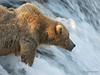 A brown bear {Alaskan Brown bear (scientific name: ursus arctos)} fishing at Brooks Falls in the Katmai National Park, Alaska.