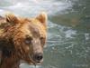 A bear {Alaskan Brown bear (scientific name: ursus arctos)} fishing at Brooks Falls in the Katmai National Park, Alaska.