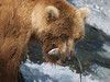 A brown bear {Alaskan Brown bear (scientific name: ursus arctos)} takes his fresh salmon from Brooks Falls in the Katmai National Park, Alaska.