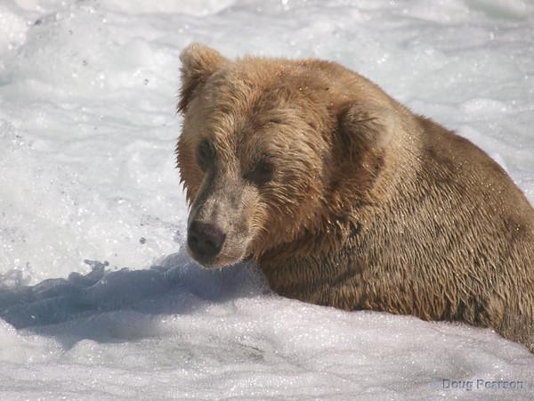 A golden Brown bear {Alaskan Brown bear (scientific name: ursus arctos)} fishing at Brooks Falls in the Katmai National Park, Alaska.