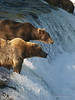 Two brown bears {Alaskan Brown bear (scientific name: ursus arctos)} fishing at the top of Brooks Falls in the Katmai National Park, Alaska.