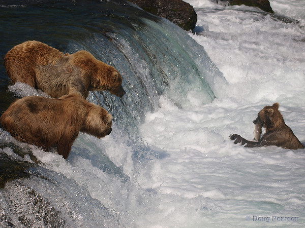 Two of the golden Brown bears {Alaskan Brown bear (scientific name: ursus arctos)} look jealously at a salmon caught by another brown bear fishing at Brooks Falls in the Katmai National Park, Alaska.