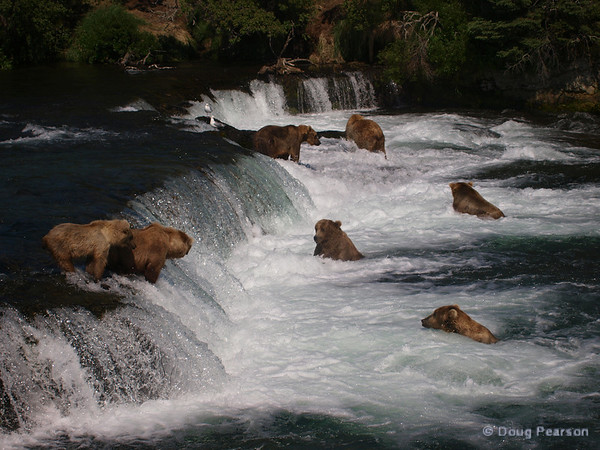 A few bears {Alaskan Brown bear (scientific name: ursus arctos)} fishing at Brooks Falls in the Katmai National Park, Alaska.