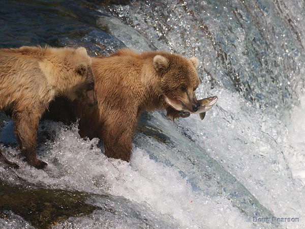 A bear cub {Alaskan Brown bear (scientific name: ursus arctos)} patiently waits for mom to share the salmon, Brooks Falls in the Katmai National Park, Alaska.