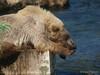 A golden bear cub {Alaskan Brown bear (scientific name: ursus arctos)} resting at the edge of Brooks Falls in the Katmai National Park, Alaska.