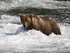 A Brown Bear {Alaskan Brown bear (scientific name: ursus arctos)} pauses while fishing at the base of Brooks Falls in the Katmai National Park, Alaska.