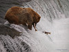 Keeping one salmon in the mouth, this bear {Alaskan Brown bear (scientific name: ursus arctos)} lets another one go by, Brooks Falls in the Katmai National Park, Alaska.