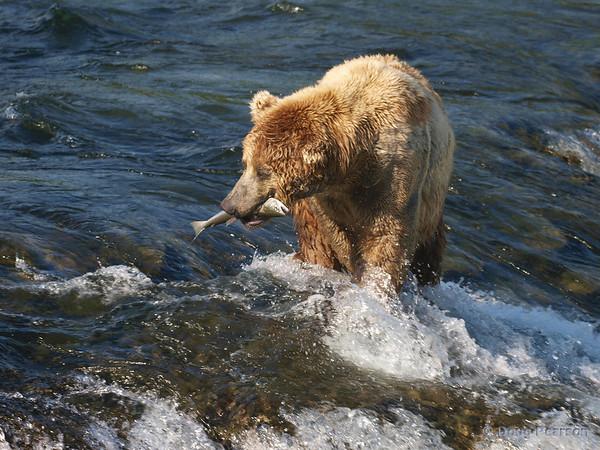 This golden Brown bear {Alaskan Brown bear (scientific name: ursus arctos)} takes his fish away from the edge of the falls to eat it, taken at Brooks Falls in the Katmai National Park, Alaska.