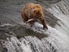 A golden Brown bear {Alaskan Brown bear (scientific name: ursus arctos)} takes a salmon away to eat, Brooks Falls in the Katmai National Park, Alaska.