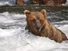 An Alaskan Brown bear (scientific name: ursus arctos) Fishing at Brooks Falls in the Katmai National Park, Alaska.