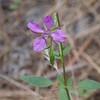 Diamond Clarkia (Clarkia rhombifolia).