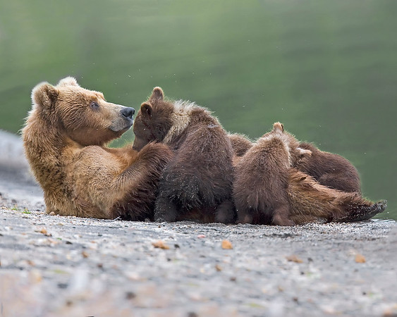 This nursing sow brown bear (her name is milkshake/bear #236) with her 4 cubs photograph was captured in Katmai National Park, Alaska (7/10).  This photograph is protected by the U.S. Copyright Laws and shall not to be downloaded or reproduced by any means without the formal written permission of Ken Conger Photography.