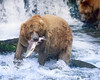"This Grizzly Bear photograph was captured in Katmai National Park in Alaska (7/04)   <font color=""RED""><h5>This photograph is protected by the U.S. Copyright Laws and shall not to be downloaded or reproduced by any means without the formal written permission of Ken Conger Photography.<font color=""RED""></font></h5></font>"