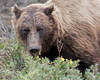 "This photograph of a Grizzly  Bear was captured in Denali National Park, Alaska (8/15). <font color=""RED""><h5>This photograph is protected by International and U.S. Copyright Laws and shall not to be downloaded or reproduced by any means without the formal written permission of Ken Conger Photography.<font color=""RED""></font></h5></font>"