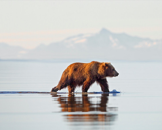 This early morning photograph of a Brown Bear strolling along the low tidal flat with the range background was captured in Lake Clark National Park, Alaska (7/12).  This photograph is protected by the U.S. Copyright Laws and shall not to be downloaded or reproduced by any means without the formal written permission of Ken Conger Photography.