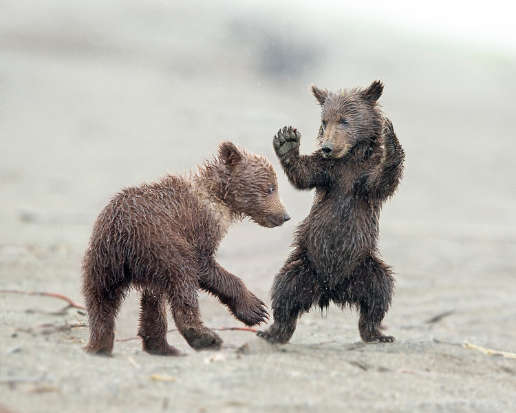 """This photograph of a pair of Brown Bear (spring cubs) cubs play fighting was captured in Lake Clark National Park, Alaska (7/13).  <font color=""""RED""""><h5>This photograph is protected by the U.S. Copyright Laws and shall not to be downloaded or reproduced by any means without the formal written permission of Ken Conger Photography.<font color=""""RED""""></font></h5></font>"""