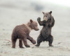 "This photograph of a pair of Brown Bear (spring cubs) cubs play fighting was captured in Lake Clark National Park, Alaska (7/13).  <font color=""RED""><h5>This photograph is protected by the U.S. Copyright Laws and shall not to be downloaded or reproduced by any means without the formal written permission of Ken Conger Photography.<font color=""RED""></font></h5></font>"