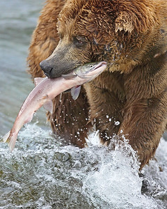 This photograph of a Brown Bear with a freshly caught salmon was captured at Katmai National Park (7/06).   This photograph is protected by the U.S. Copyright Laws and shall not to be downloaded or reproduced by any means without the formal written permission of Ken Conger Photography.