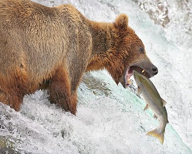 This photograph of a Brown Bear catching a salmon was captured at Katmai National Park (7/06).  Second place winner of the 2007 National Parks Photo Contest sponsored by Canon. This photograph is protected by the U.S. Copyright Laws and shall not to be downloaded or reproduced by any means without the formal written permission of Ken Conger Photography.