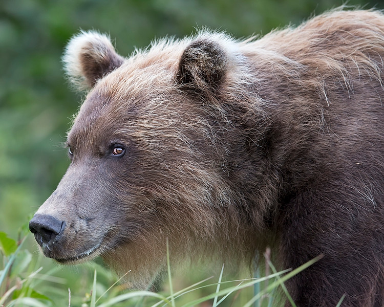 This photograph of a Grizzly  Bear was captured in Denali National Park, Alaska (8/15). This photograph is protected by International and U.S. Copyright Laws and shall not to be downloaded or reproduced by any means without the formal written permission of Ken Conger Photography.