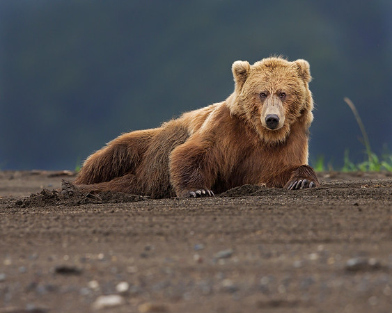 This evening Brown Bear photograph was captured on a beach at Lake Clark National Park, Alaska (7/12).  The bear's pose reminds me of one of those old time large nude women on a couch impressionists paintings.  This photograph is protected by the U.S. Copyright Laws and shall not to be downloaded or reproduced by any means without the formal written permission of Ken Conger Photography.