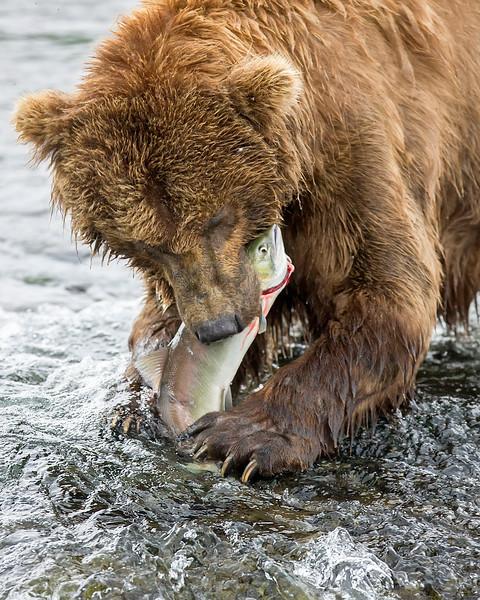 This brown bear with a freshly caught sockeye salmon photograph was captured in Katmai National Park, Alaska (7/10)